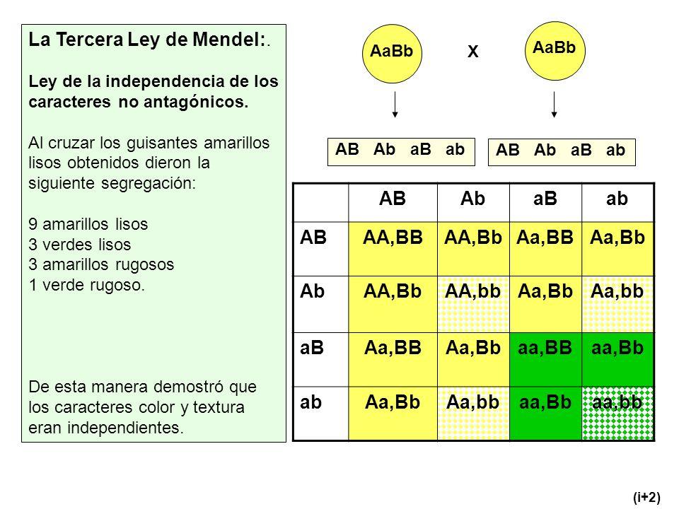AB Ab aB ab AA,BB AA,Bb Aa,BB Aa,Bb AA,bb Aa,bb aa,BB aa,Bb aa,bb