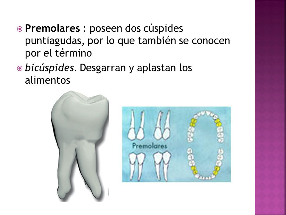Premolares : poseen dos cúspides puntiagudas, por lo que también se conocen por el término