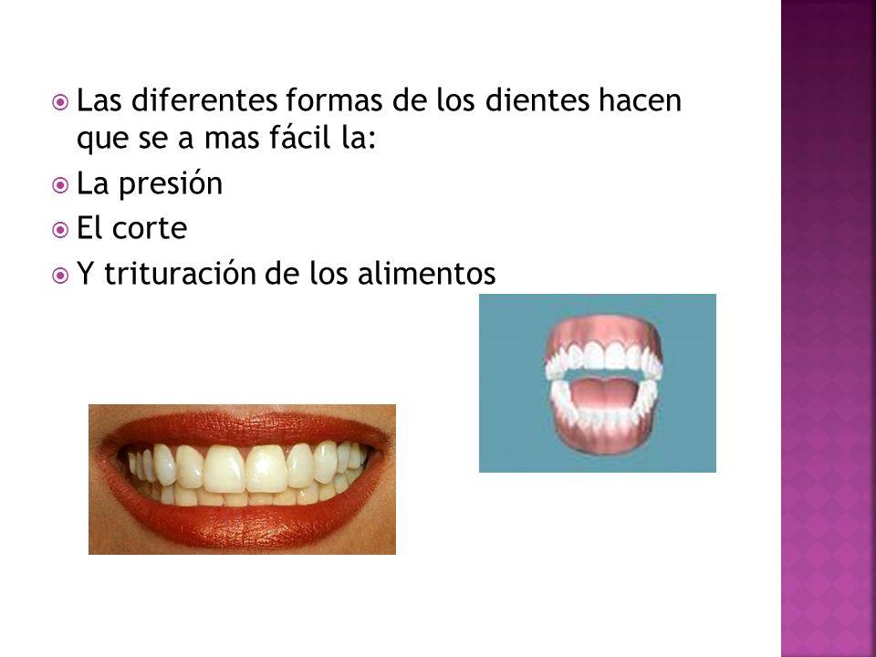 Las diferentes formas de los dientes hacen que se a mas fácil la: