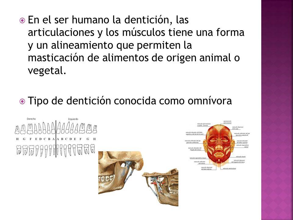 En el ser humano la dentición, las articulaciones y los músculos tiene una forma y un alineamiento que permiten la masticación de alimentos de origen animal o vegetal.