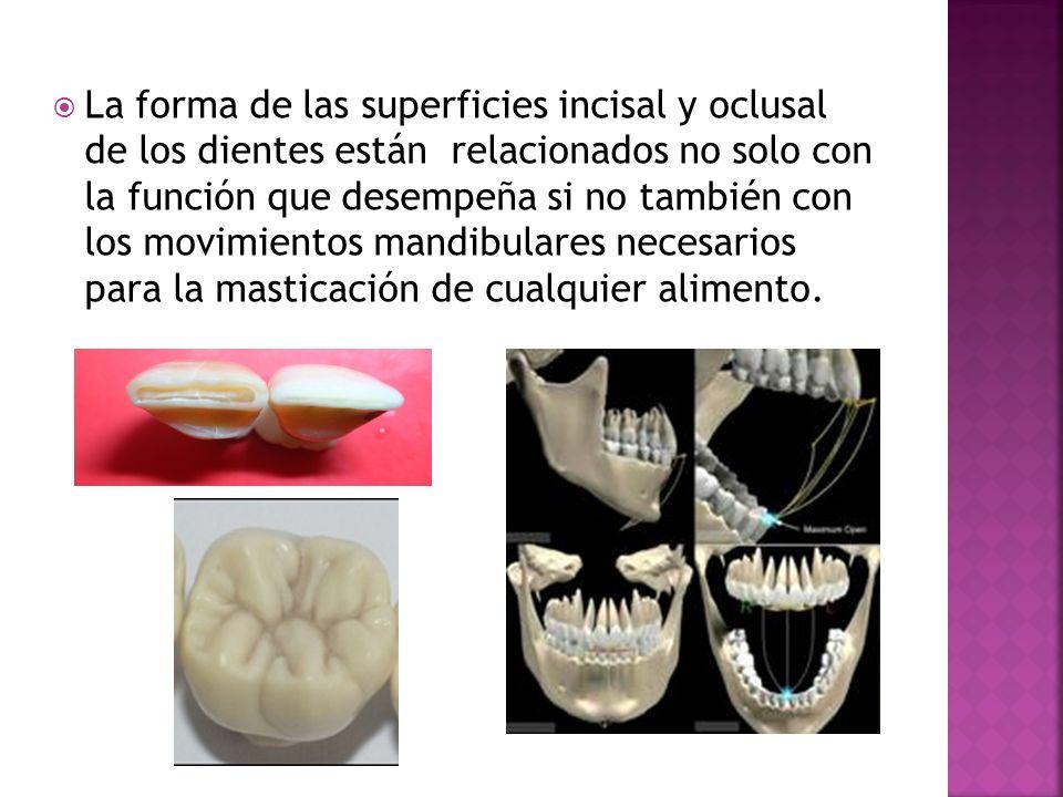 La forma de las superficies incisal y oclusal de los dientes están relacionados no solo con la función que desempeña si no también con los movimientos mandibulares necesarios para la masticación de cualquier alimento.