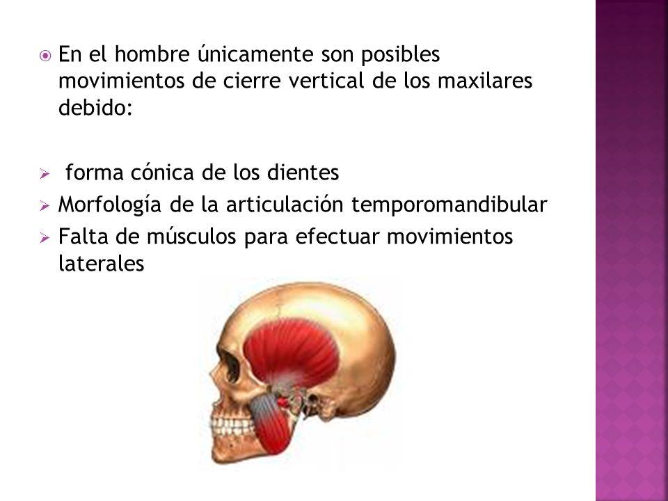 En el hombre únicamente son posibles movimientos de cierre vertical de los maxilares debido: