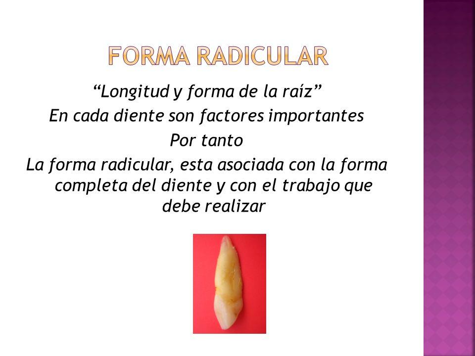 Forma radicular