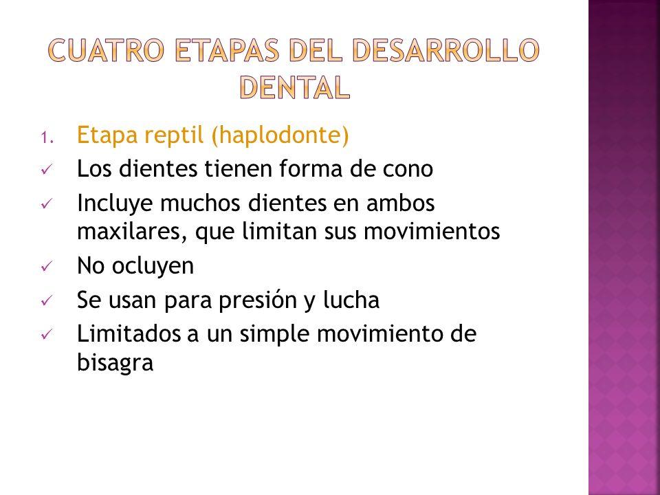 Cuatro etapas del desarrollo dental