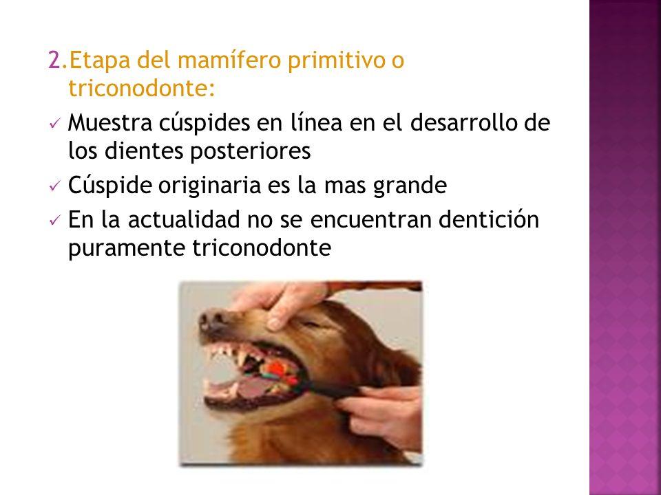 2.Etapa del mamífero primitivo o triconodonte: