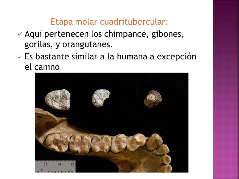 Etapa molar cuadritubercular: