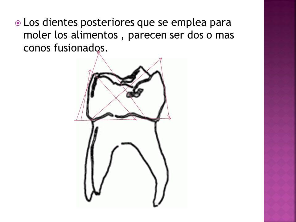 Los dientes posteriores que se emplea para moler los alimentos , parecen ser dos o mas conos fusionados.
