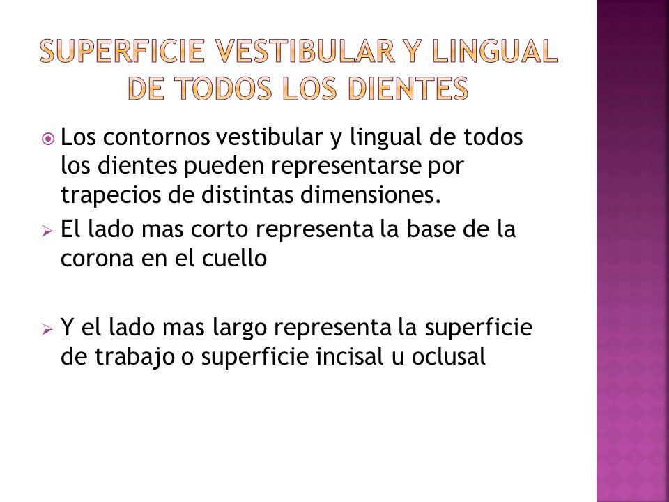 Superficie vestibular y lingual de todos los dientes