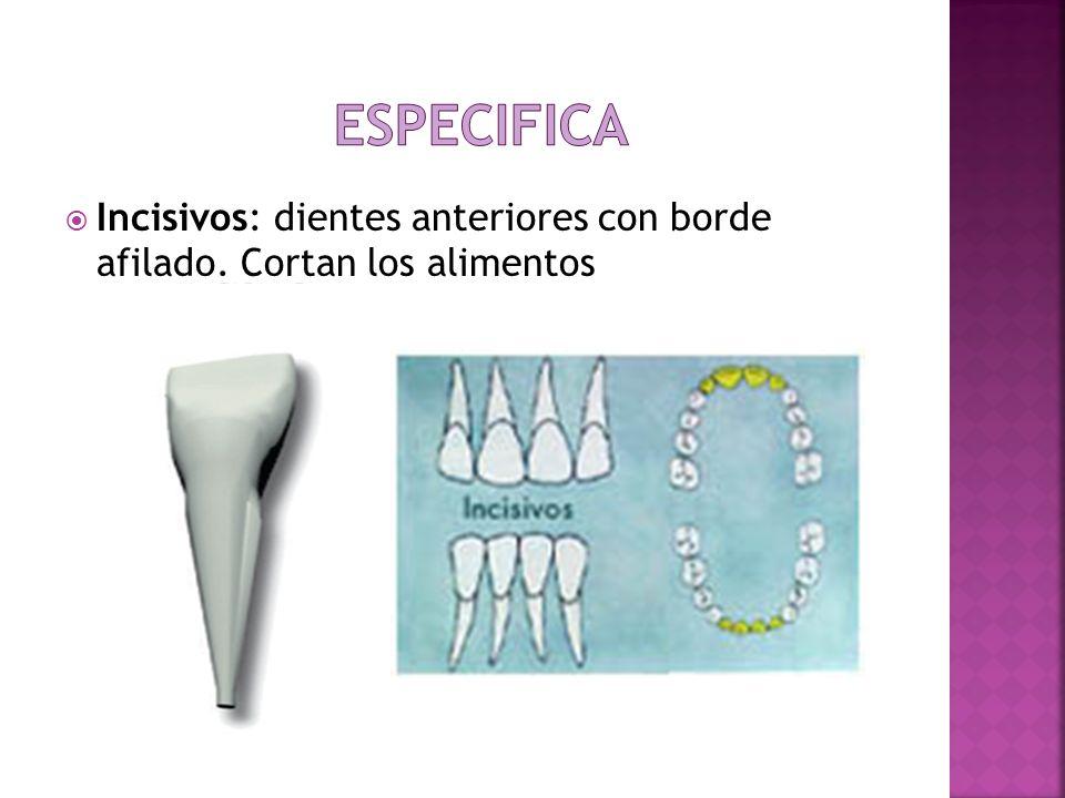 Especifica Incisivos: dientes anteriores con borde afilado. Cortan los alimentos