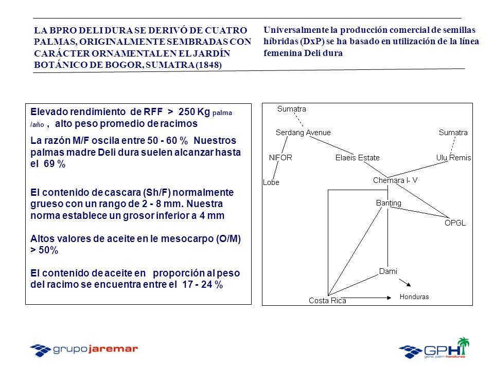 Altos valores de aceite en le mesocarpo (O/M) > 50%
