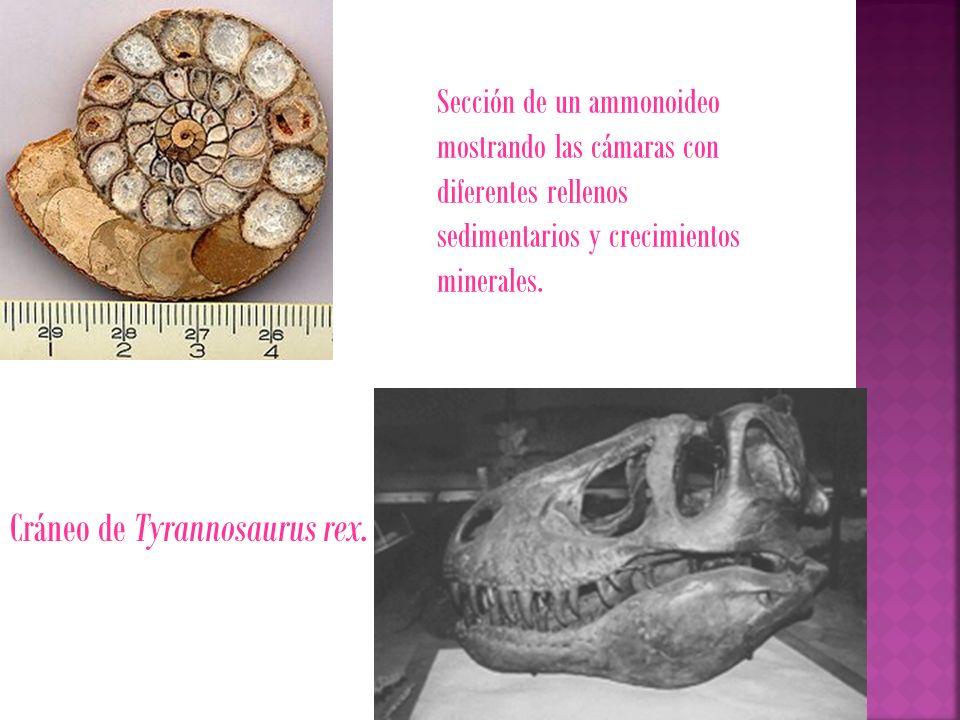 Cráneo de Tyrannosaurus rex.