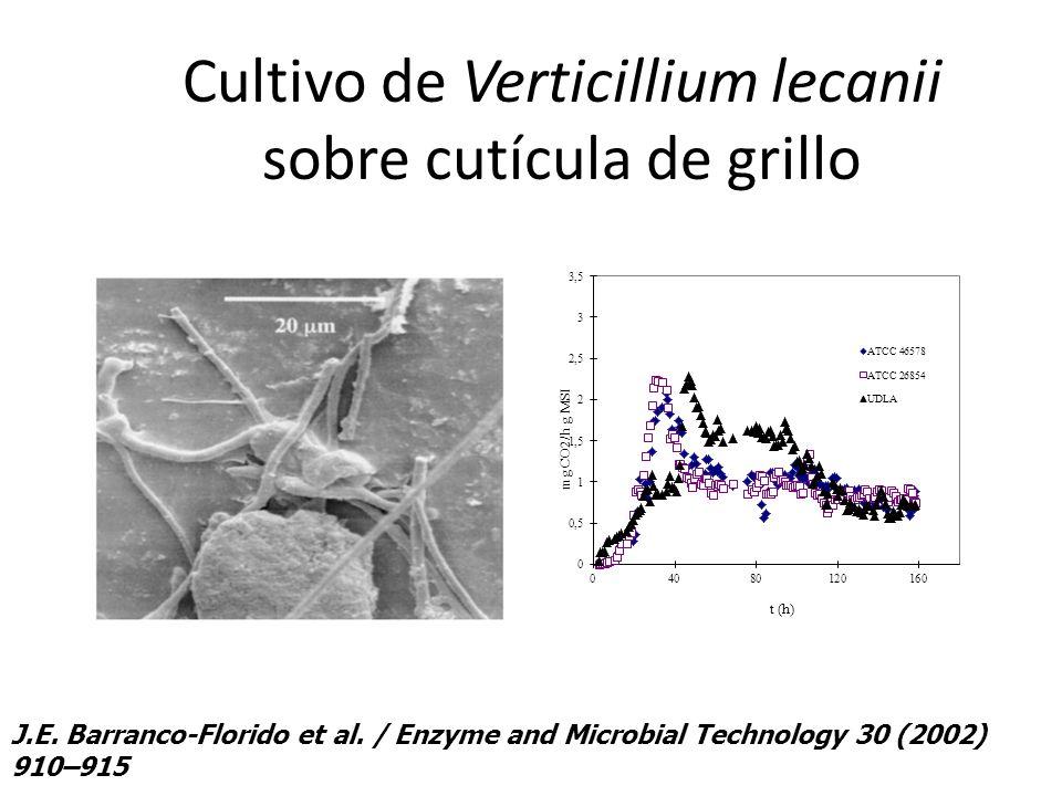 Cultivo de Verticillium lecanii sobre cutícula de grillo