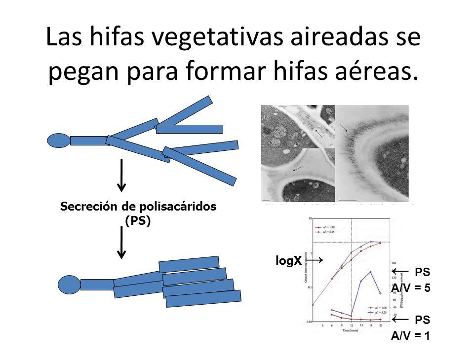 Las hifas vegetativas aireadas se pegan para formar hifas aéreas.