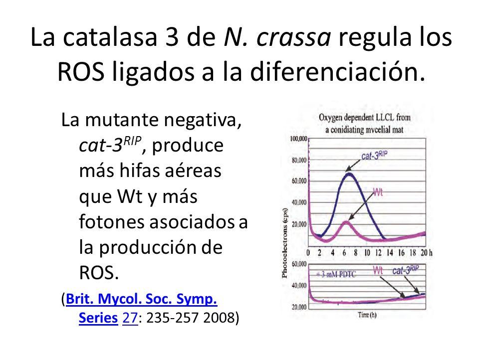 La catalasa 3 de N. crassa regula los ROS ligados a la diferenciación.
