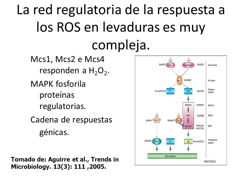 La red regulatoria de la respuesta a los ROS en levaduras es muy compleja.