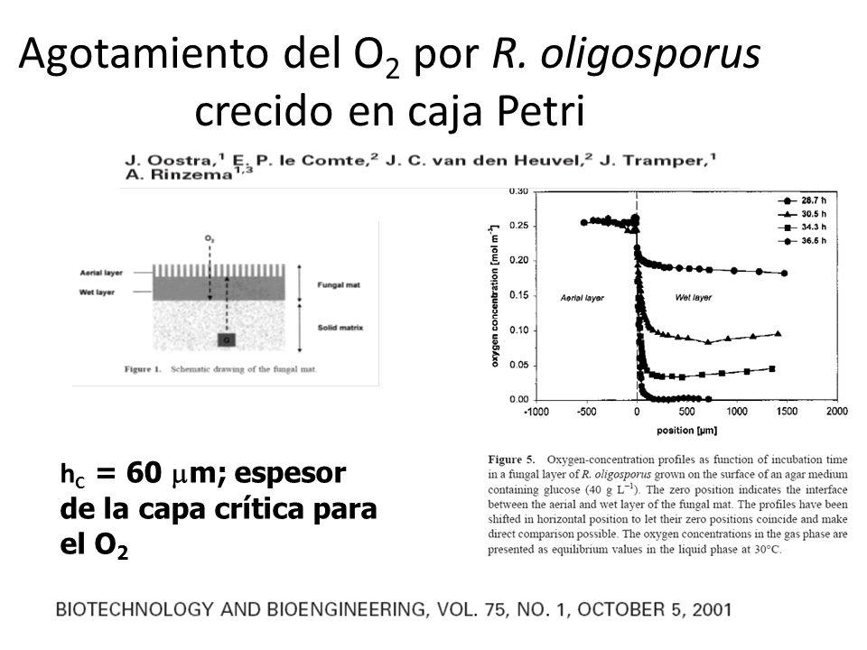Agotamiento del O2 por R. oligosporus crecido en caja Petri