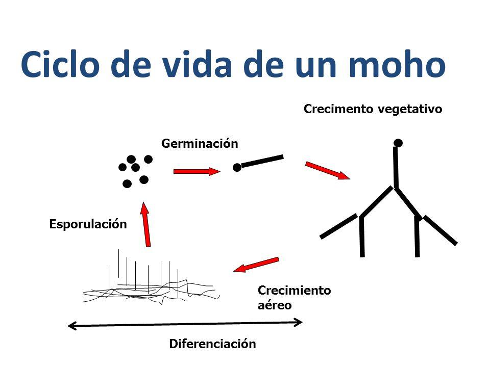 Ciclo de vida de un moho Crecimento vegetativo Germinación