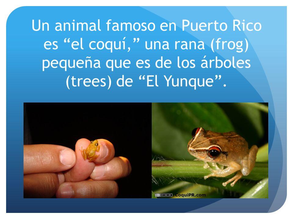 Un animal famoso en Puerto Rico es el coquí, una rana (frog) pequeña que es de los árboles (trees) de El Yunque .