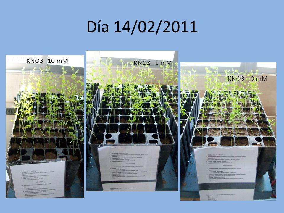 Día 14/02/2011 KNO3 10 mM KNO3 1 mM KNO3 0 mM
