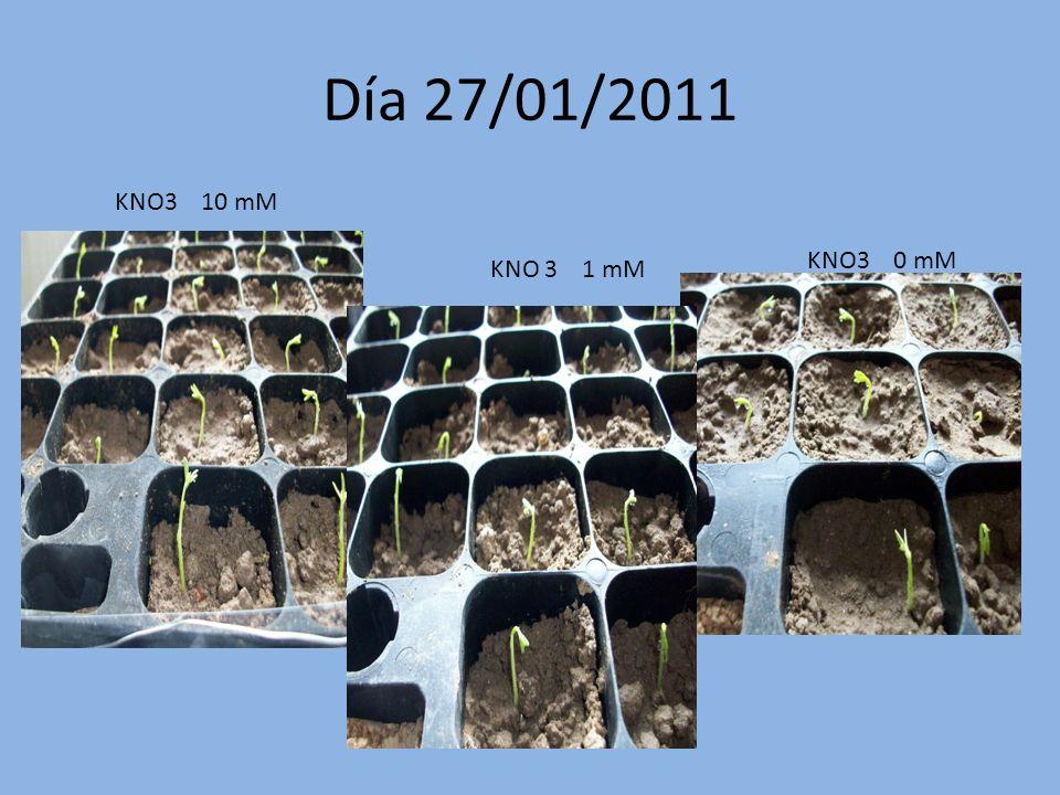 Día 27/01/2011 KNO3 10 mM KNO3 0 mM KNO 3 1 mM