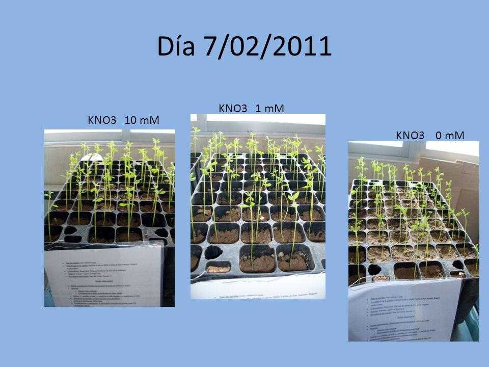 Día 7/02/2011 KNO3 1 mM KNO3 10 mM KNO3 0 mM