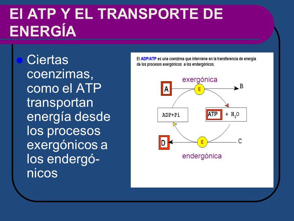 El ATP Y EL TRANSPORTE DE ENERGÍA
