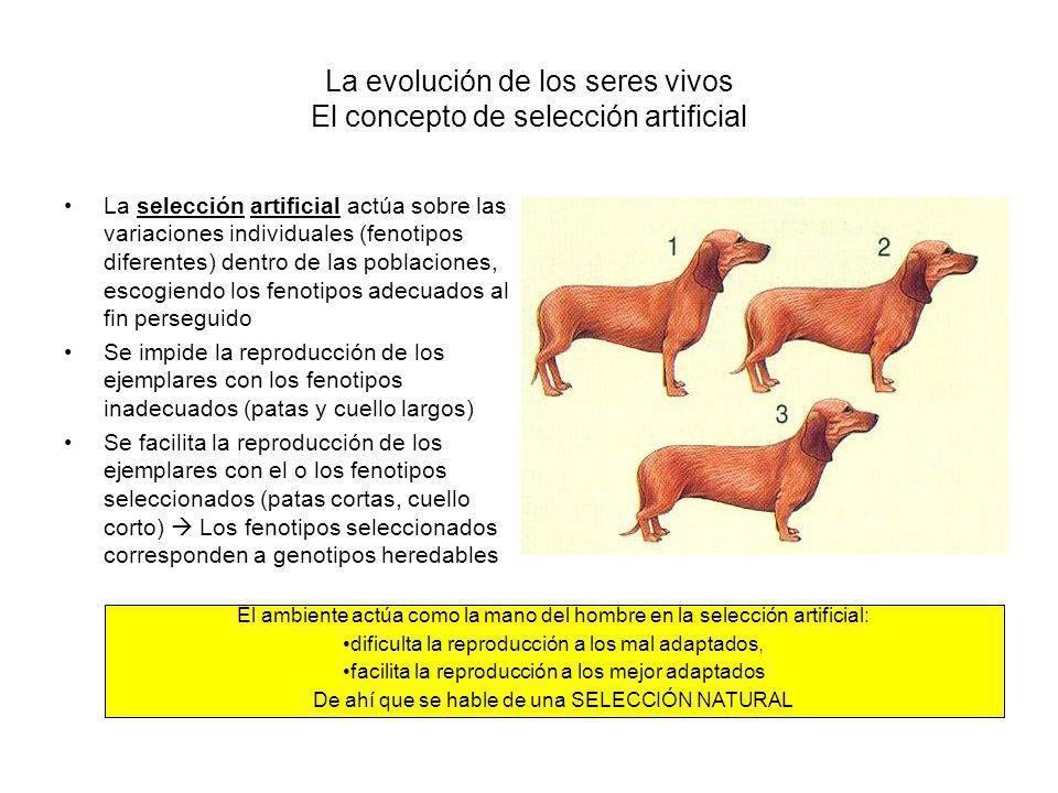 La evolución de los seres vivos El concepto de selección artificial