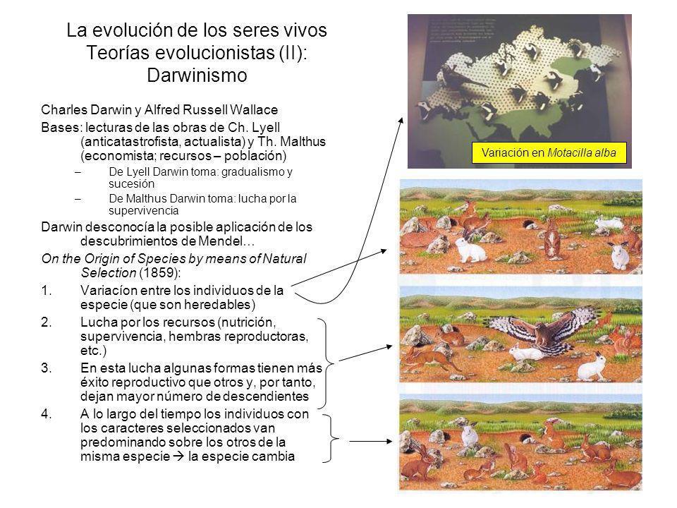 Variación en Motacilla alba