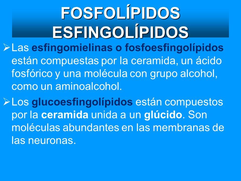 FOSFOLÍPIDOS ESFINGOLÍPIDOS