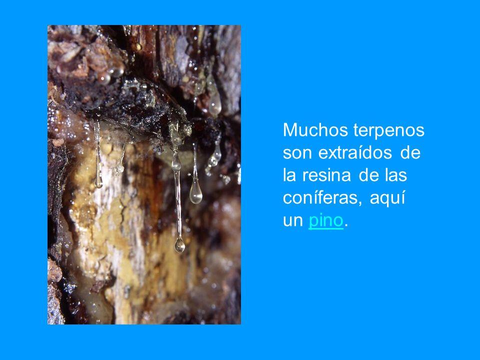 Muchos terpenos son extraídos de la resina de las coníferas, aquí un pino.