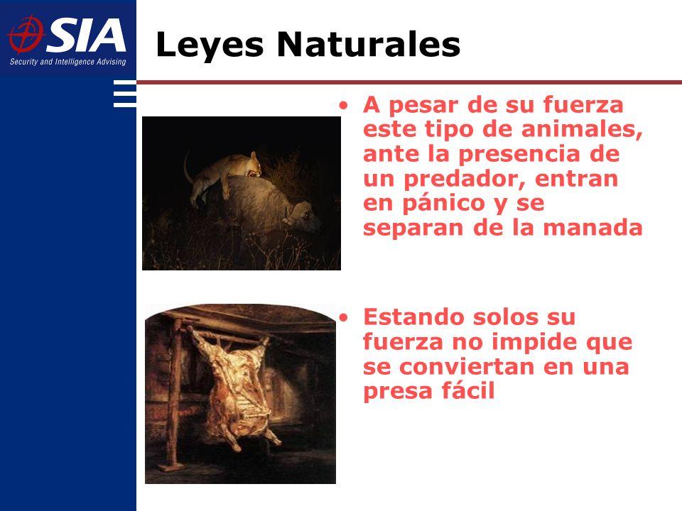 Leyes Naturales A pesar de su fuerza este tipo de animales, ante la presencia de un predador, entran en pánico y se separan de la manada.