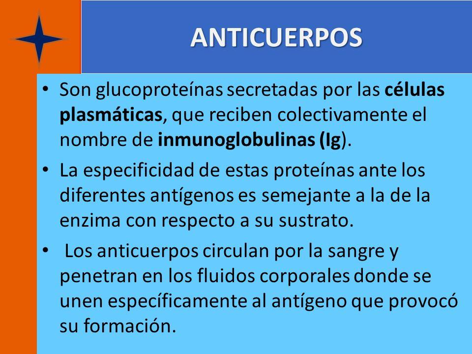 ANTICUERPOS Son glucoproteínas secretadas por las células plasmáticas, que reciben colectivamente el nombre de inmunoglobulinas (Ig).