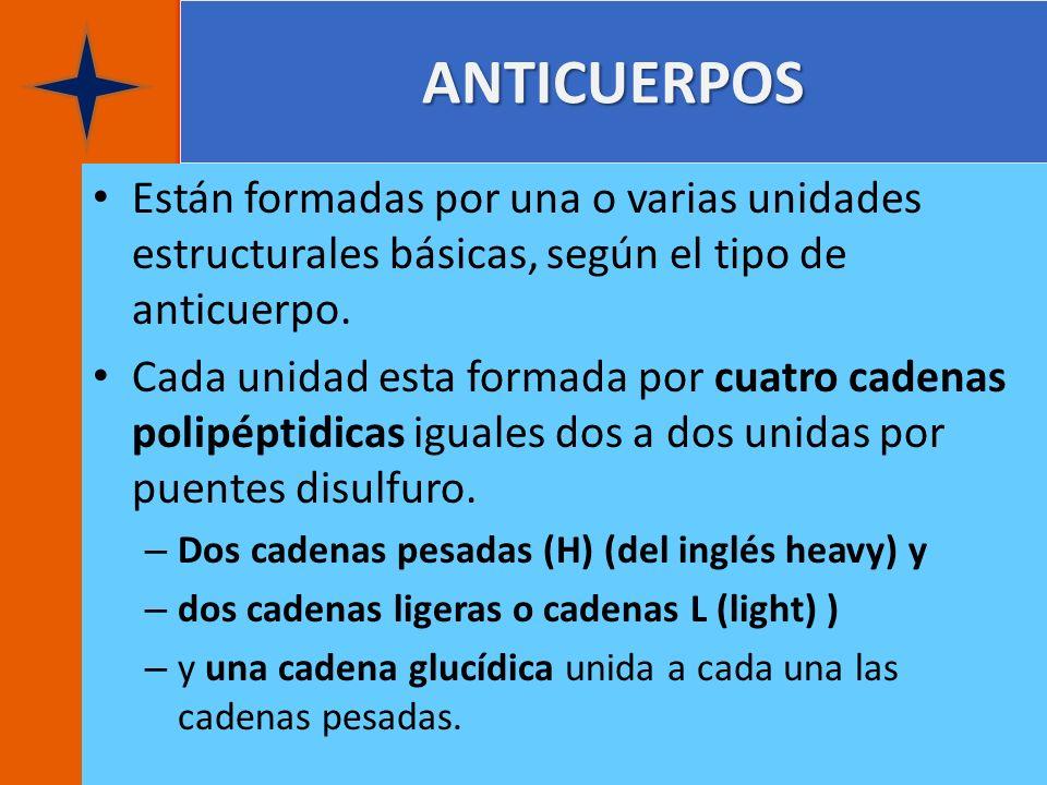 ANTICUERPOS Están formadas por una o varias unidades estructurales básicas, según el tipo de anticuerpo.