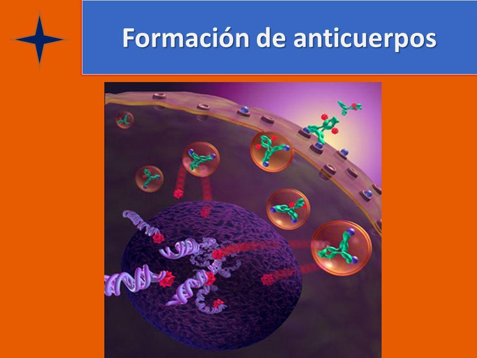 Formación de anticuerpos