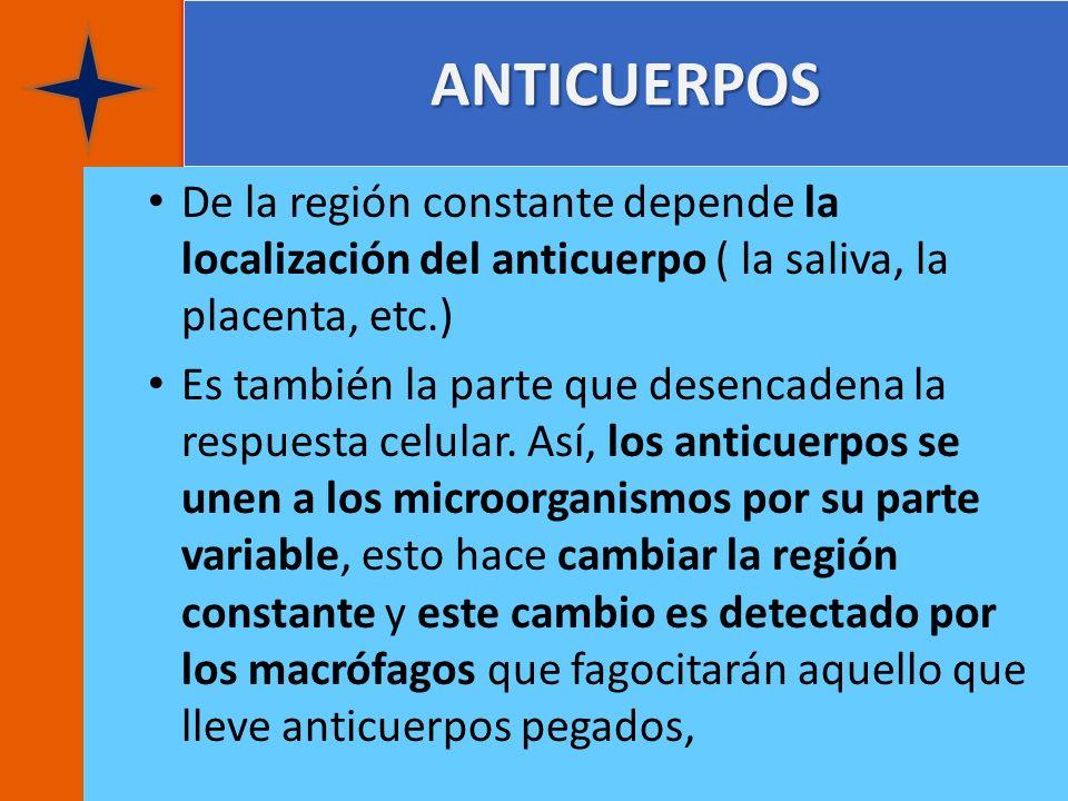 ANTICUERPOS De la región constante depende la localización del anticuerpo ( la saliva, la placenta, etc.)