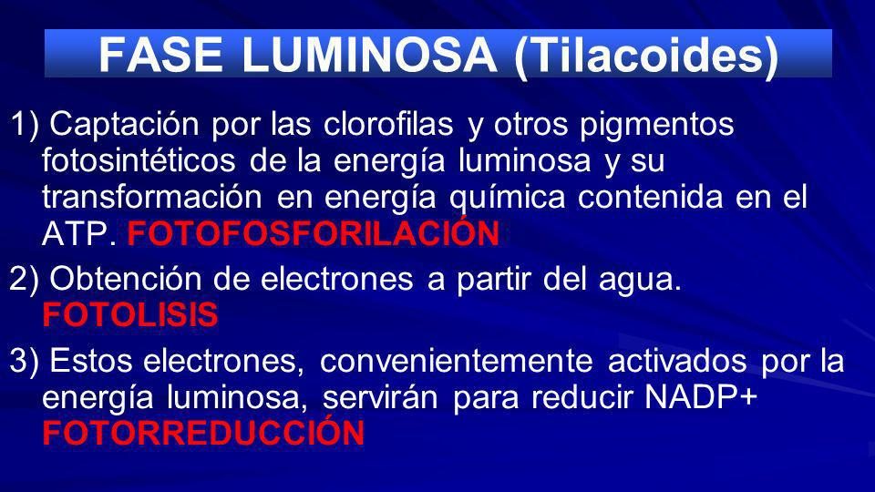 FASE LUMINOSA (Tilacoides)