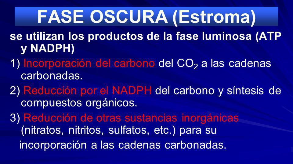 FASE OSCURA (Estroma)se utilizan los productos de la fase luminosa (ATP y NADPH) 1) Incorporación del carbono del CO2 a las cadenas carbonadas.
