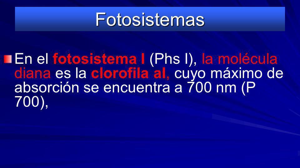 FotosistemasEn el fotosistema I (Phs I), la molécula diana es la clorofila aI, cuyo máximo de absorción se encuentra a 700 nm (P 700),