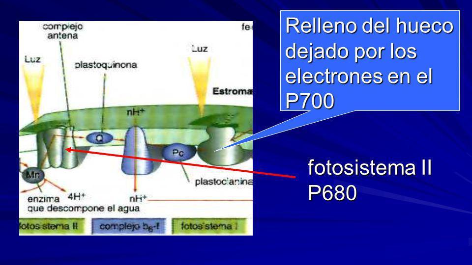 Relleno del hueco dejado por los electrones en el P700