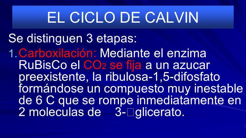 EL CICLO DE CALVIN Se distinguen 3 etapas: