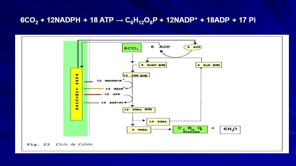 6CO2 + 12NADPH + 18 ATP → C6H12O6P + 12NADP+ + 18ADP + 17 Pi
