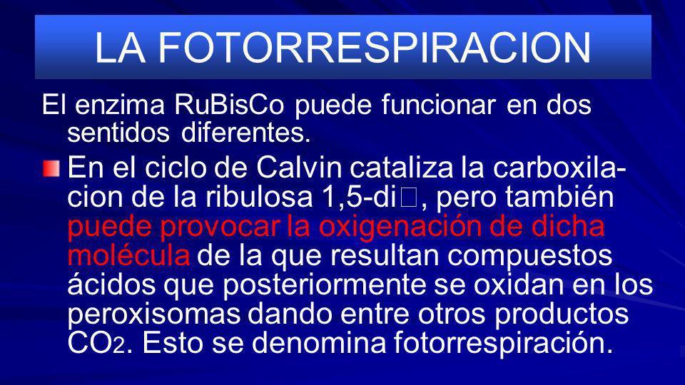 LA FOTORRESPIRACION El enzima RuBisCo puede funcionar en dos sentidos diferentes.