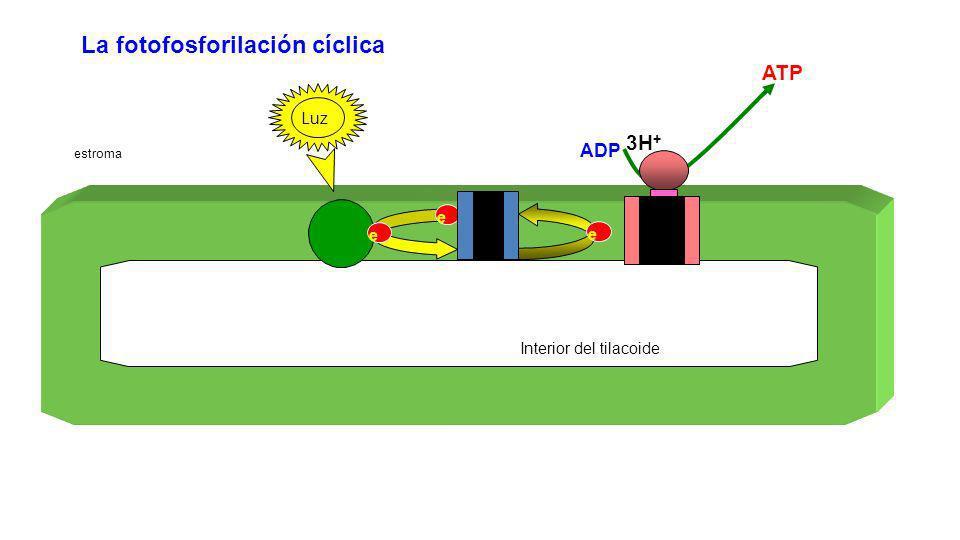 La fotofosforilación cíclica