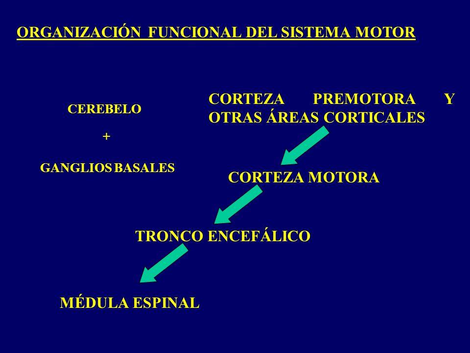 ORGANIZACIÓN FUNCIONAL DEL SISTEMA MOTOR