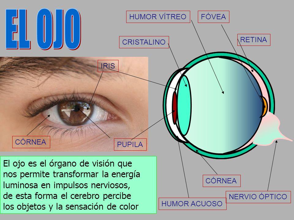 EL OJO El ojo es el órgano de visión que
