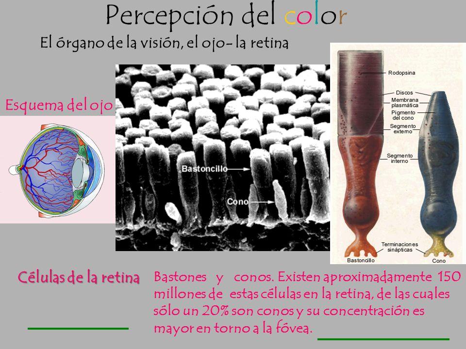 Percepción del color El órgano de la visión, el ojo- la retina