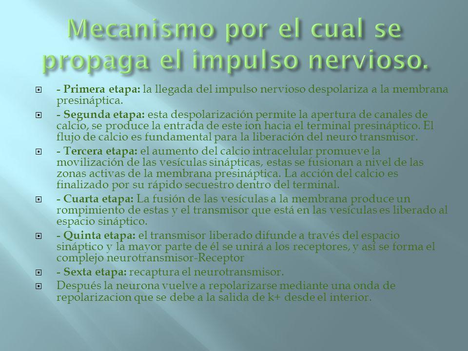 Mecanismo por el cual se propaga el impulso nervioso.