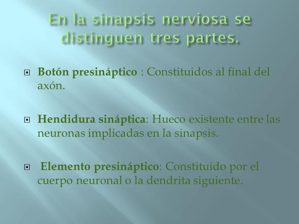 En la sinapsis nerviosa se distinguen tres partes.