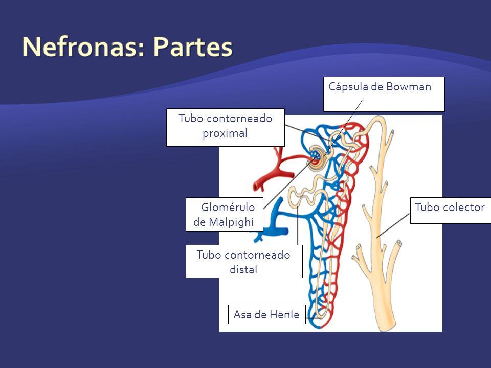 Nefronas: Partes Tubo contorneado proximal Tubo colector