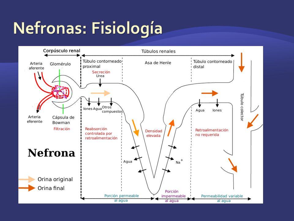 Nefronas: Fisiología